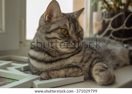 Small funny British cat kitten kitty resting on window