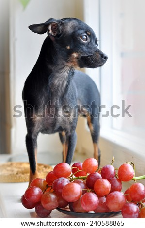 Small funny dog and grapes - stock photo