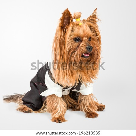 Small funny dog studio shot isolated over white background