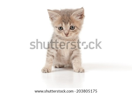 Small funny grey kitten sits on isolated white background.