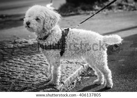 Small Furry Dog With Red Harness on Leash Looking in The Distance in Black and White - stock photo