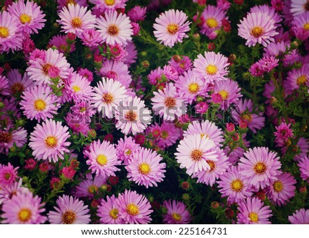 Small garden Astra flowers. Group of Alpine asters (Aster Alpinus) - stock photo