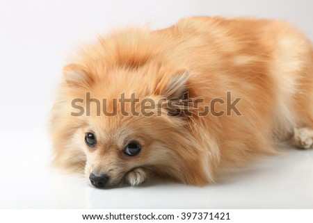 Small German Spitz
