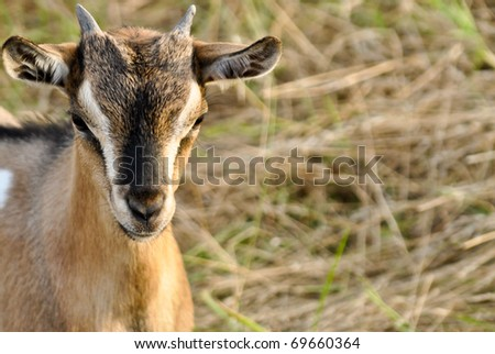 Small goat in a field - stock photo