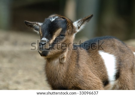Small Goat In Zoo