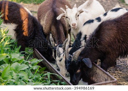 Small goats drinking milk