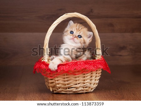 small golden british kitten on table with wooden texture in red cup - stock photo