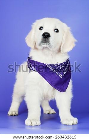 small golden retriever puppy in a bandana - stock photo