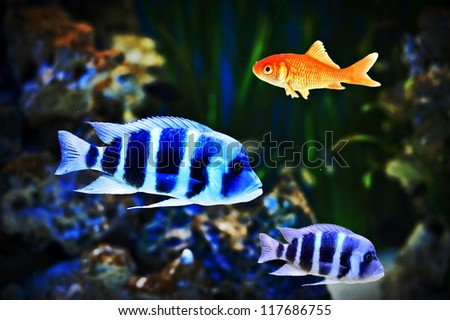 Small goldfish showing  individuality as well as  leadership - stock photo