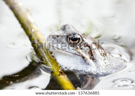 Small grass frog in water near a plant straw