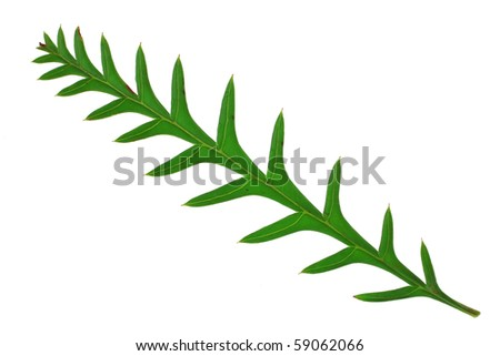 small grass leaves isolated on white background