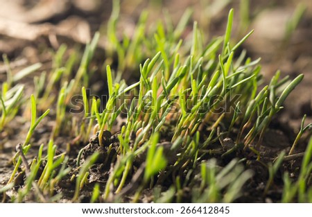 small grass sprout in soil in nature - stock photo