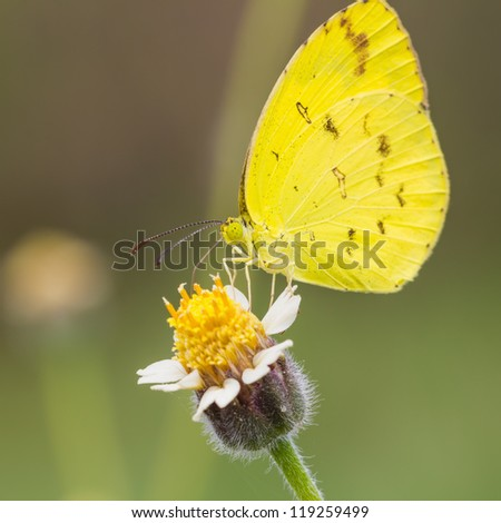 Small grass yellow (Eurema brigitta) butterfly feeding on flower, square cropped - stock photo