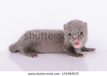 small gray animal mink on a white background - stock photo