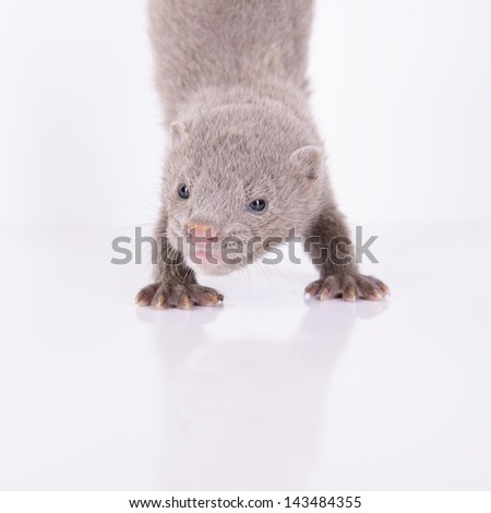 small gray animal mink stand on the front paws. on a white background - stock photo