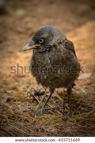 small gray bird sitting on the ground - stock photo