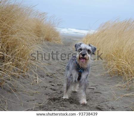 Small gray dog at the beach - stock photo