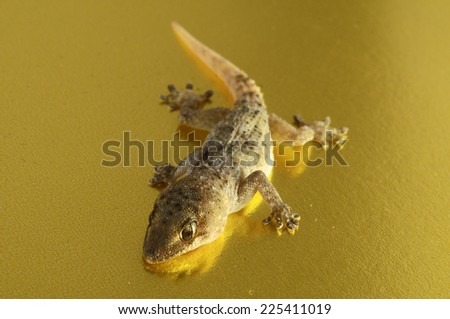 Small Gray Gecko Lizard on a Colored Background - stock photo