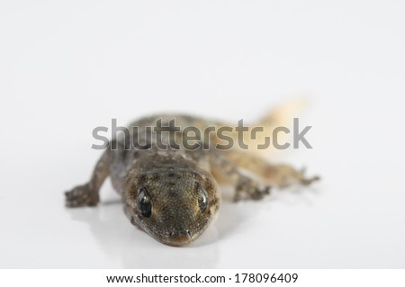 Small Gray Gecko Lizard on a White Background