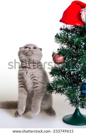 small gray kitten next to Christmas tree. Kitten Christmas. kitten, Christmas tree, and the little red cap of Santa Claus on a white background - stock photo