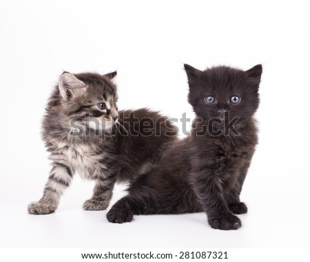 Small gray kittens isolated