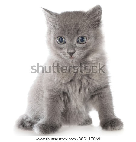 Small gray long haired kitten sitting on white background.