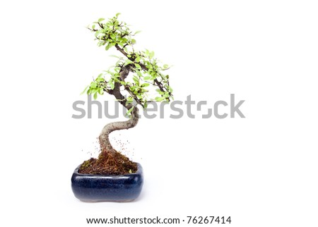 small green bonzai tree - stock photo