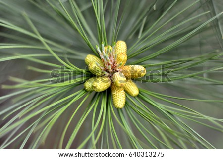 Small green cones on fir tree closeup, macro. Spring time
