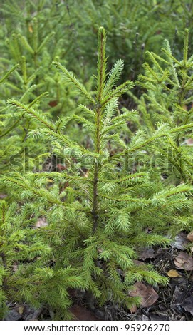 Small green firs in the forest