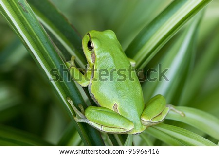 Small green frog is hiddind in the leaves - stock photo