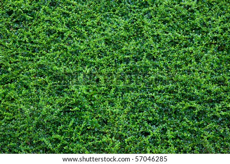 Small green leaves in a park useful as a background - stock photo