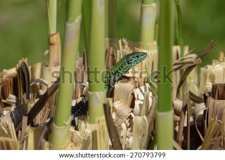 Small green lizard reptile enjoying the sunshine on marshes plant roots. - stock photo