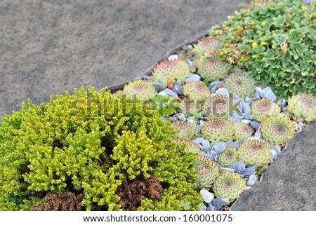 Small green plant, houseleek between gray stones - stock photo