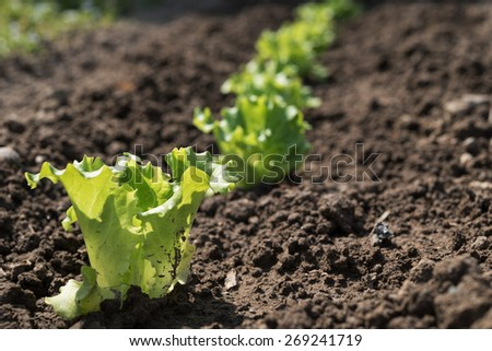 Small green salad seedlings in the vegetable garden