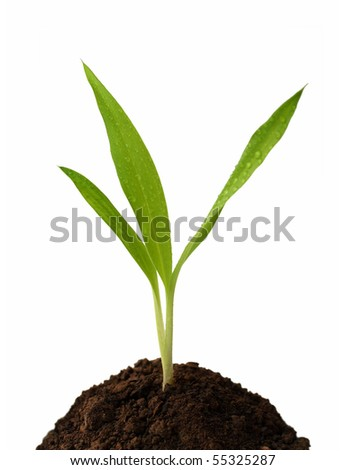 small green sprout in soil isolated on white - stock photo