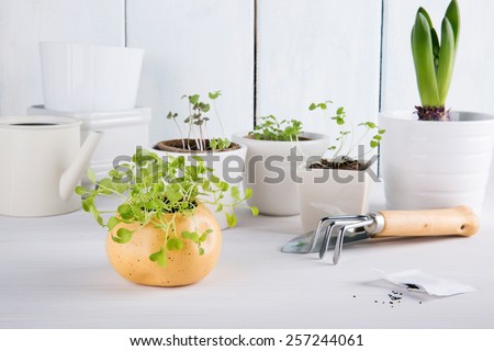 Small green sprouts of arugula. Garden tools and seeds.  - stock photo