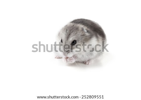 small grey and white hamster - stock photo