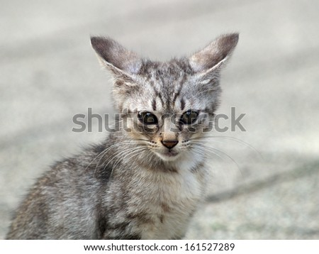 Small grey cat with raised ears. - stock photo