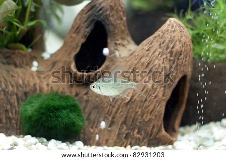 Small grey fish - stock photo