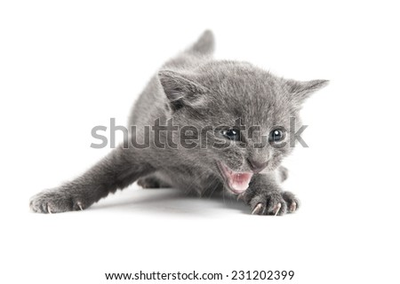 Small grey furry kitten in an angry stance hissing - stock photo