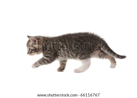 Small grey kitten isolated on white background - stock photo
