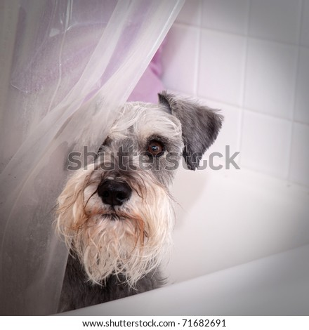 Small grey miniature schnauzer dog looks out from behind a shower curtain in the bath tub