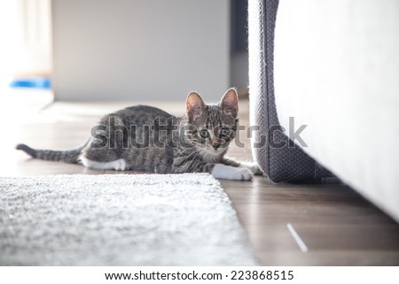 Small grey pet kitten playing indoor apartment - stock photo