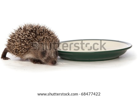 small grey prickly hedgehog gathering to drink milk from the plate - stock photo