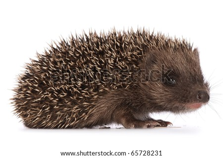 small grey prickly hedgehog looks at me - stock photo