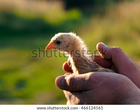 Small, grimy white chick in male hands. Green natural background