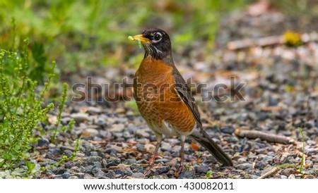 small grosbeak on the ground. Bird holds in its beak a worm - stock photo