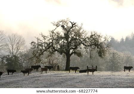 Small group of beef steers standing in a snowy field below a large oak tree near Roseburg Oregon - stock photo