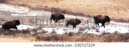 Small group of bison frolicking and chasing each other, Yellowstone National Park in winter - stock photo