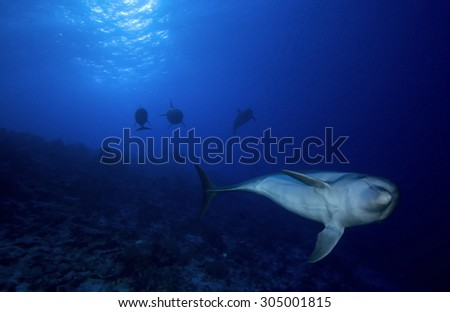 SMALL GROUP OF BOTTLE NOSE DOLPHIN SWIMMING ON BLUE WATER - stock photo